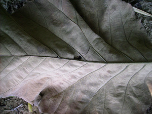 Dried_leaf_texture