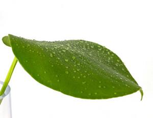 Drops On Rain Leaf Close Up