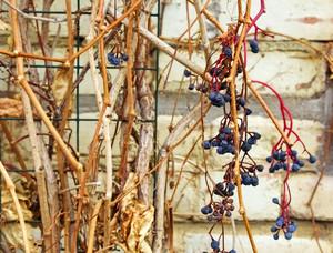 Dry Berries Twigs