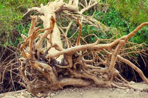 Dry fallen tree with rhizome