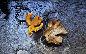 Dry Maple Leaves On Wet Road - Background
