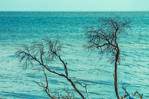 Dry tree against sea. Blue toning