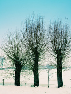 Dry trees in snowy field