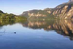 Duck swimming in a smooth lake reflecting surrounding mountains