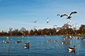 Ducks And Seagulls In Kensington Gardens