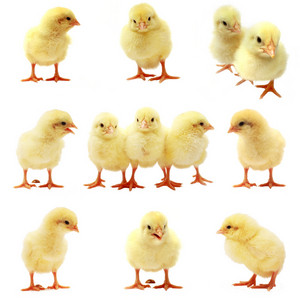 Easter Chick - Isolated Set