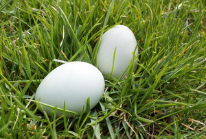 Eggs In Grass Background