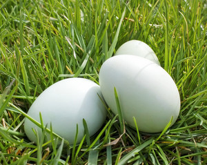 Eggs In Grass