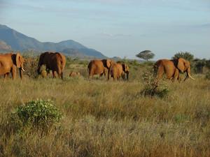 Elephants' Migration Through An African Savanna
