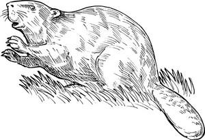 European Beaver Or Eurasian Beaver Drawing