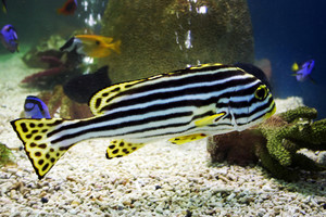 Exotic Zebra Fish