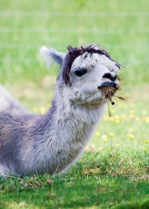 Face of alpaca (Vicugna pacos) from farm