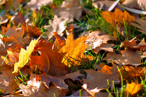 Fallen leaves on green grass background
