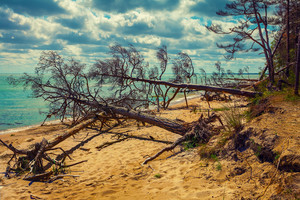 Fallen pine tree on the beach