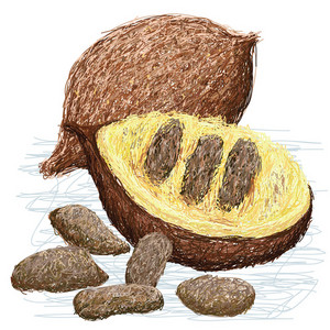 False Durian Nut
