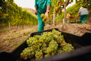 Farm worker filling basket of green grapes in the vineyards during the grape harvest. Woman putting grapes into the plastic crate. Focus on grapes in container.