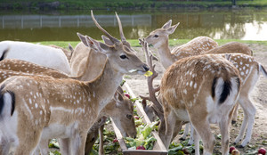 Feeding Of Young Deer And Fallow