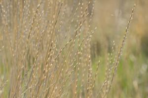 Field Grasses