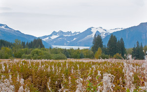 Field Of Alaska Fireweed