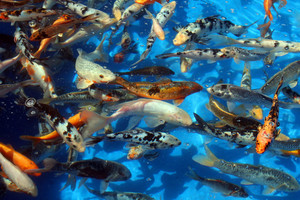 Fish In Light Blue Water