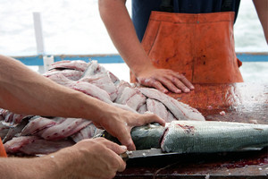 Fishermen cleaning and filleting a fresh caught saltwater blue fish aboard a deep sea fishing boat.