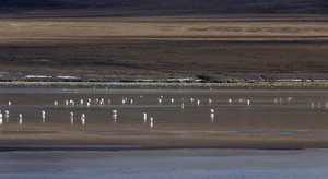 Flock of flamingos feeding in shallow waters