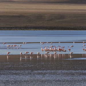 Flock of pink flamingos feeding in sunlit water