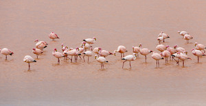 Flock of pink flamingos in rosy waters at sunset