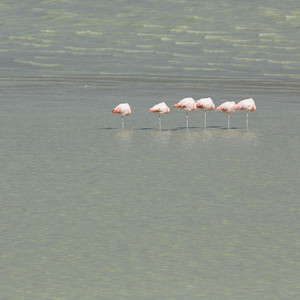 Flock of pink flamingos standing on one leg in water