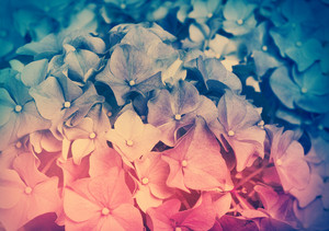 Floral background. Vintage bi-color hydrangea
