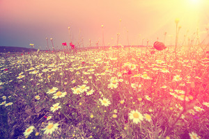 Flower field at sunset with retro vintage filter