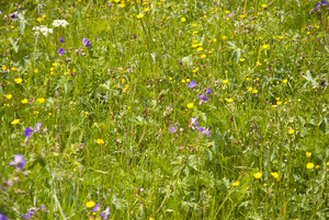 Flowering Meadow