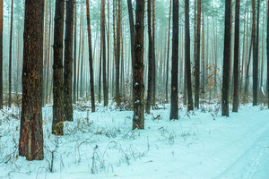 Foggy pine forest covered with first snow