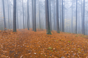 Foggy spooky forest landscape. Morning in autumnal woods. Tranquil and bit spooky scene.