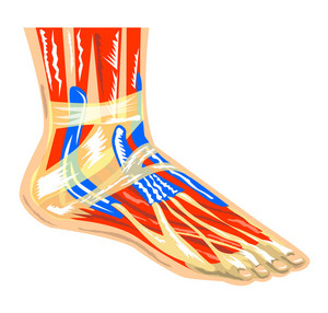 Foot Muscle