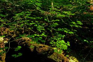 Forest Vine Maple