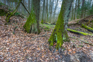 Forest wetlands. Beautiful green springtime landscape with old trees