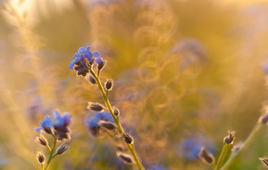 Forget me nots flowers close up