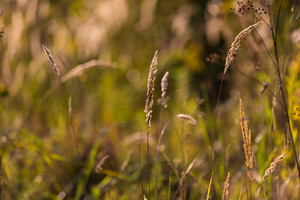 Foxtail grass in morning light