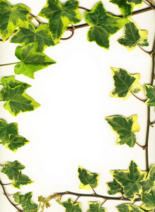 Frame Made Of Green Ivy Isolated On White Background