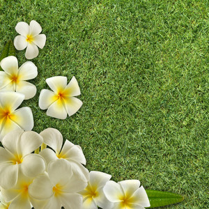 Frangipani On Green Grass
