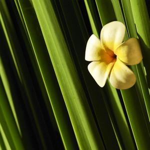 Frangipani on green