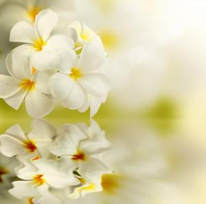 Frangipani Spa Flowers Reflected Water.plumeria