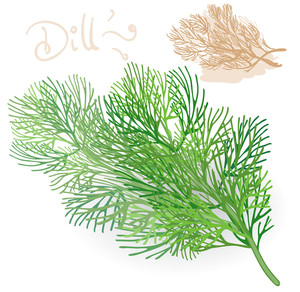 Fresh Fennel Leaf On White. Vector.
