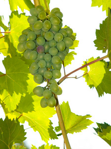 Fresh Grapes In The Vine On White Background
