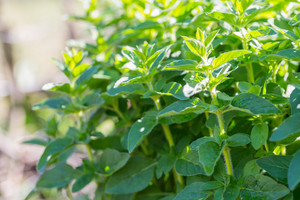 Fresh green oregano twigs growing in garden