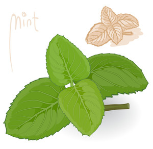 Fresh Mint. Vector.