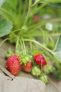 Fresh organic strawberries closeup shot