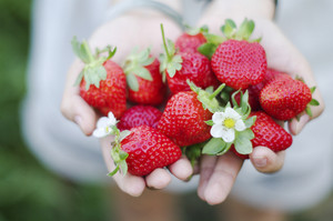 Fresh picked strawberries held over strawberry plants