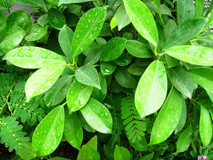 Fresh_leaves